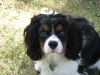 Cavalier King Charles Spaniel, 1-October 25, 2011, Tri-colour