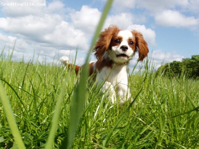 Cavalier King Charles Spaniel, 9 months, blenheim, He is the best dog in the world! :)