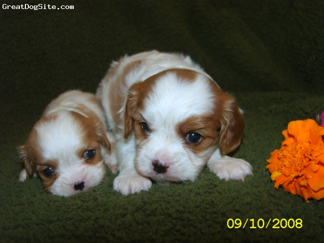 Cavalier King Charles Spaniel, 4 weeks, Blenheim, These girls are two of the five in this litter. Aren't they adorable