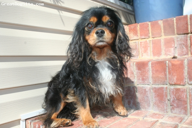 Cavalier King Charles Spaniel, 2, Black/Tan, Bentley is my beautiful Black and Tan Cavalier. He is 10 lbs and is the best around!