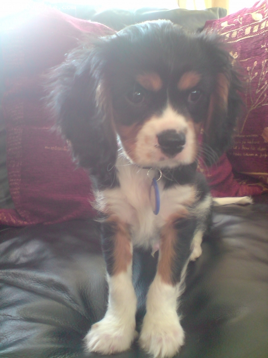 Cavalier King Charles Spaniel, 10wks, tri, buddle of fun