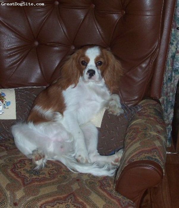 Cavalier King Charles Spaniel, 7 months, Blenheim, Our little old man relaxing in his lounge chair