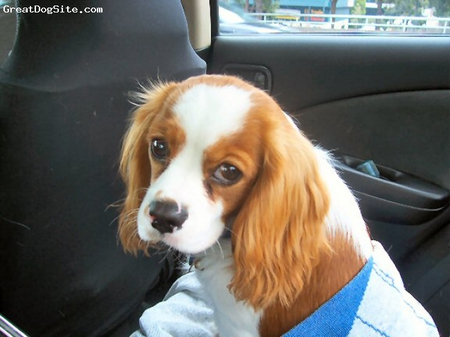 Cavalier King Charles Spaniel, 7 months, Blenheim, Going home from a big day out.