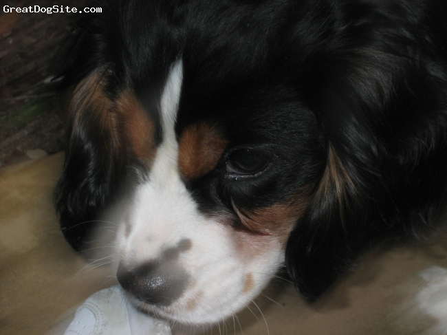 Cavalier King Charles Spaniel, 6 months, tri, resting