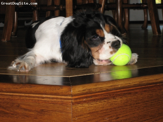 Cavalier King Charles Spaniel, 6 months, tri, Playing with ball