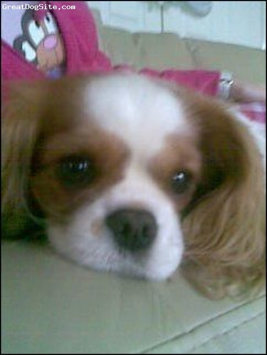 Cavalier King Charles Spaniel, 2, tan & white, bes dog ever, very obedient, friendly. love her..! xxxxxxxxxxxxxxx