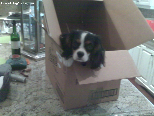 Cavalier King Charles Spaniel, 9 mos, tri colour, helping us pack