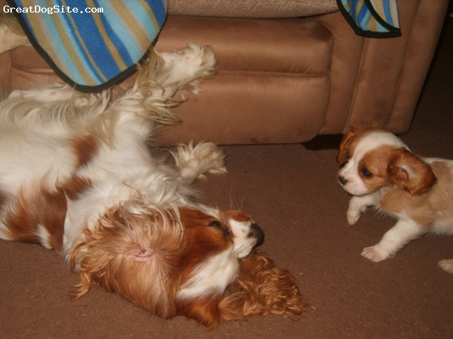Cavalier King Charles Spaniel, 10 weeks and 2 and a half, blenheim, having a play fight