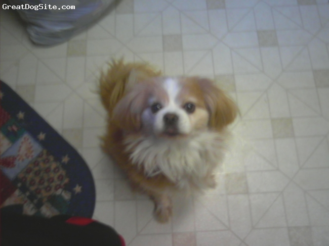 Cavalier King Charles Spaniel, 8 Years, Tan and white, She is a god dog