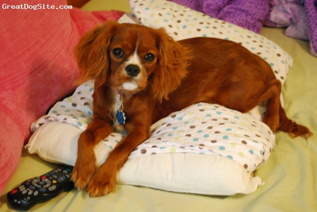 Cavalier King Charles Spaniel, 1 year, Ruby, Our dog is very intelligent, vivacious and very sweet!