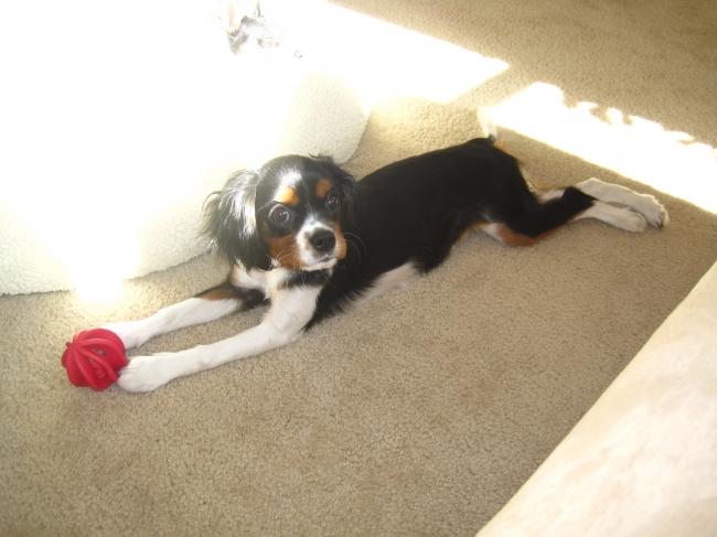 Cavalier King Charles Spaniel, 4 1/2 months, Tri-color, Playing ball!