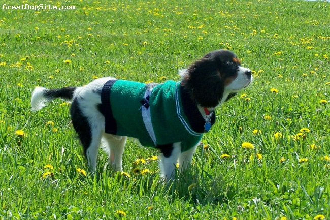 Cavalier King Charles Spaniel, 8 months, tricolor, Here is Charlie out at the Kentucky Horse Park in Lexington, KY.