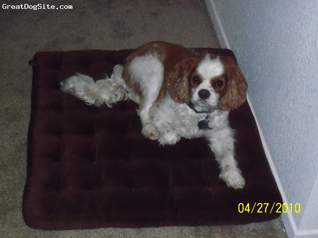 Cavalier King Charles Spaniel, 5, blenhem, He is the King of the house, Loves to play and get belly rubs. He is loving to his brother jack. Very affectionate and always wants to be with you.