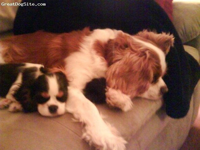 Cavalier King Charles Spaniel, 5mths & 3 yrs old, Black & White,  Blenheim, Napping with my new Big Brother