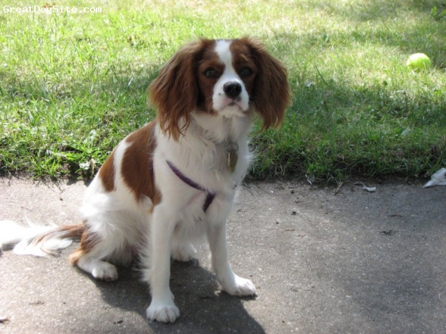 Cavalier King Charles Spaniel, 10 months, Blenheim, Not for show or breeding, just our girl :)