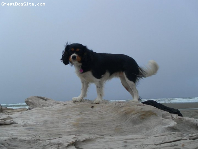 Cavalier King Charles Spaniel, 15 months, Tri, This was her first trip to the ocean and she loved it!!