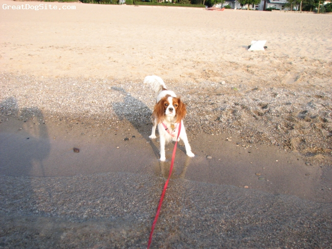 Cavalier King Charles Spaniel, Approx. 8 mths here, Blenhiem, Don't make me go in that water!!