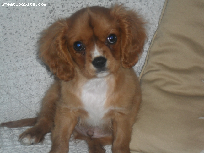 Cavalier King Charles Spaniel, 22 weeks, ruby and white, named after my grandad DEREK the best and cutest puppy in the world with the coolest name ever h!e is immence of epic propotions ( and he has a mohkian