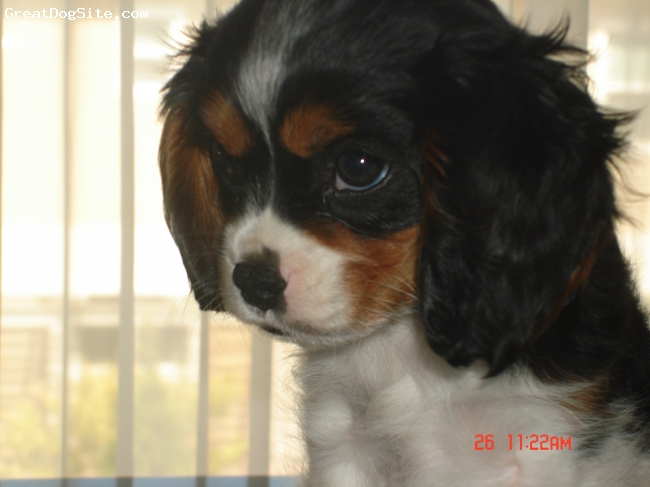 Cavalier King Charles Spaniel, 4, trycolor, wonderfull personality. my shadow. I am seeing that the 
