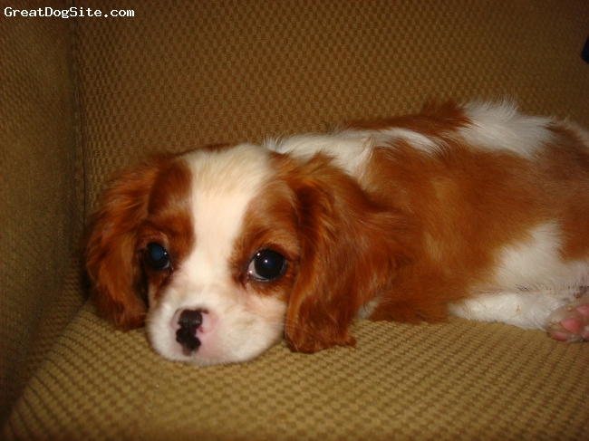 Cavalier King Charles Spaniel, 10 weeks, Bleheim, Scout has a pink and black nose
