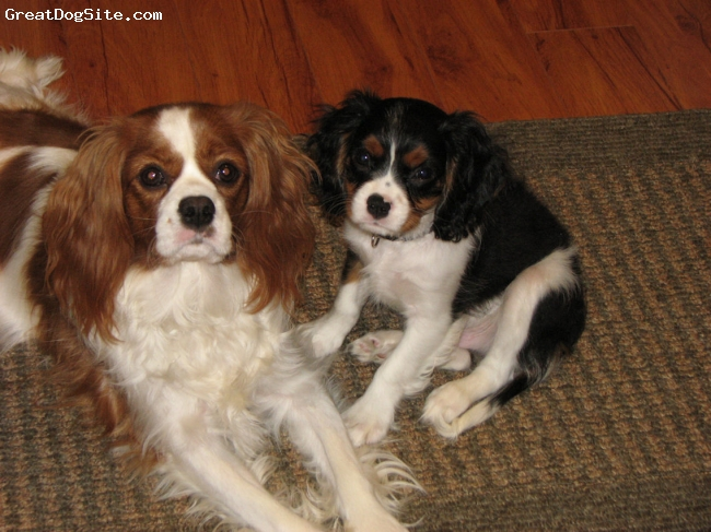 Cavalier King Charles Spaniel, Blenhiem 15 mth Tri 12 wk, Blenhiem and Tri, Cavalier King Charles Blenhiem and Tri