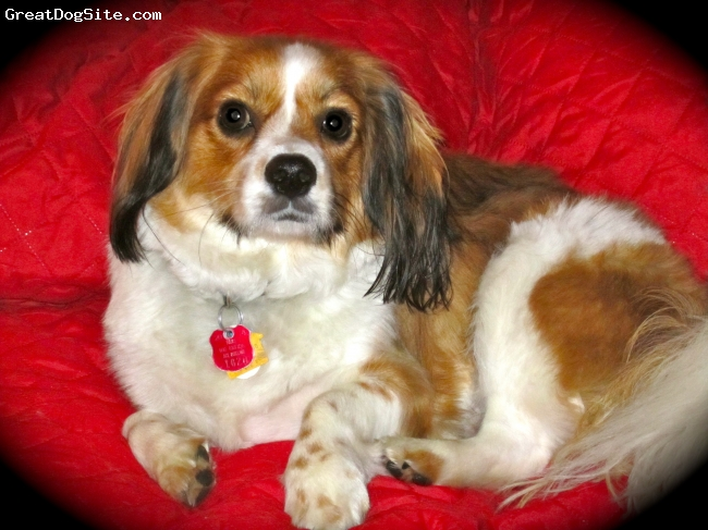 Cavalier King Charles Spaniel, 1 year, 8 mo, brindle, He is really a Cavachon ( that is what the breeder documented)