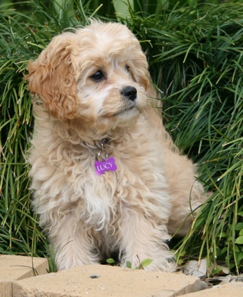 Cavapoo Information, Pictures, Reviews and Q&A | GreatDogSite.com