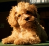 Cavapoo, 8 months old, apricot