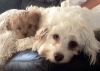 Cavapoo, 12 weeks and 3 years, Apricot and white