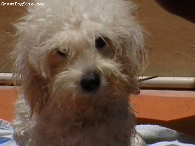 Cavapoo, 4, white, very sweet,loyal, kikko likes to jump and run...and friendly to other dogs..