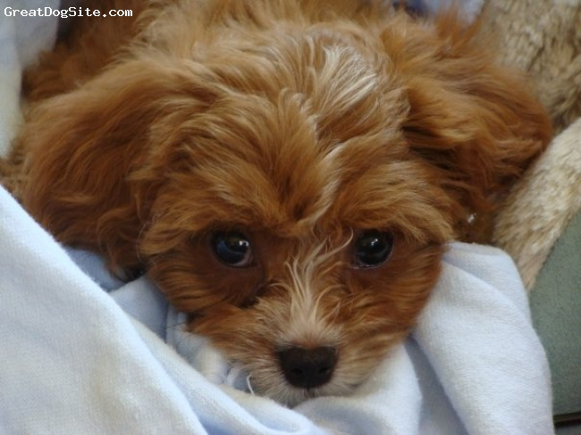 Cavapoo, 2 months, strawberry red, Such a little cutie