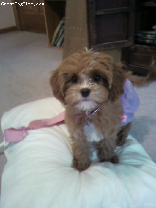 Cavapoo, 4 months, Strawberry red, Cute