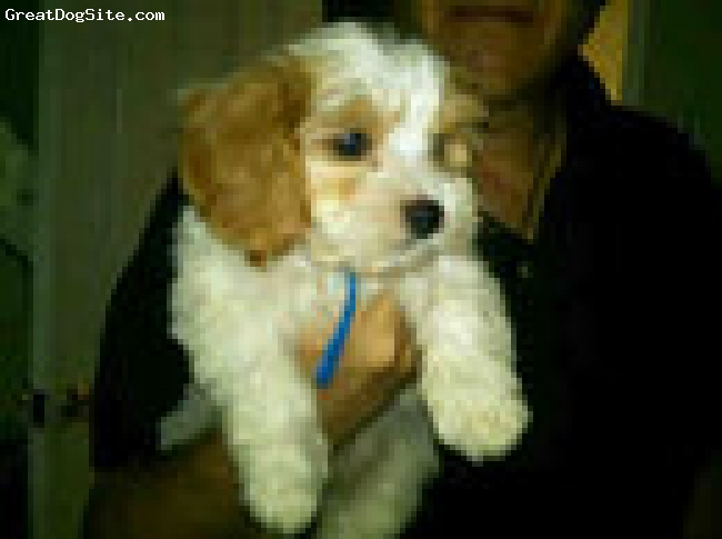 Cavapoo, 9 weeks, white and caramel, hes adorable and sweet