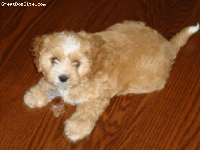 Cavapoo, 4 months, Apricot, Cavapoo adopted from Riverside Puppies in Missouri.