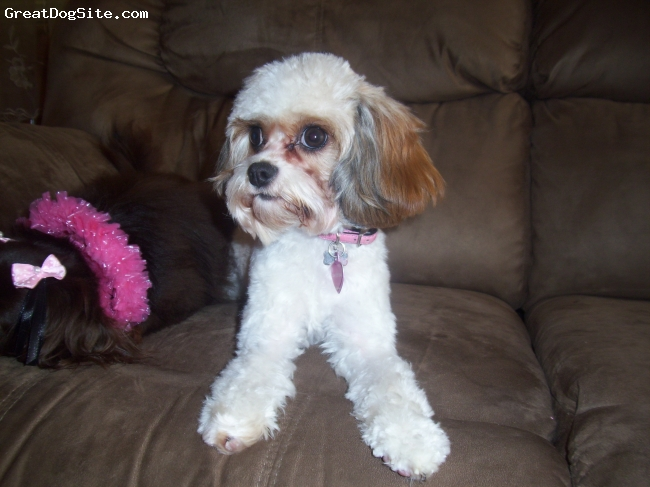 Cavapoo, 1 year, white/brown, Daisy is a Cavapoo. She is very sweet and loving. She is a year old, and weighs 7 pounds. She looks like a cavalier, but with curly poodle hair, and she does not shed. She was very easy to train, and she gets along great with dogs, cats, and children.