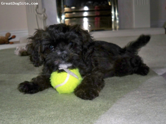 Cavapoo, 10 weeks, chocolate, our little Cavapoo now 8 mouths old and loves the snow