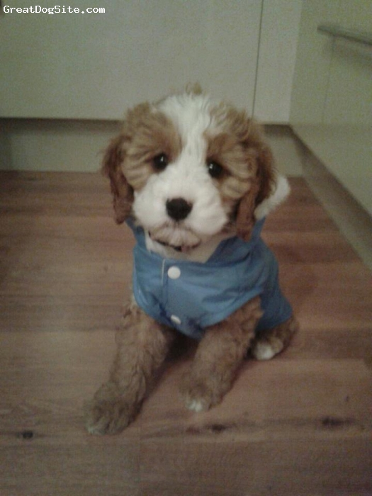 Cavapoo, 10 weeks, Apricot & White, This is my cavapoo bella trying her new coat on.