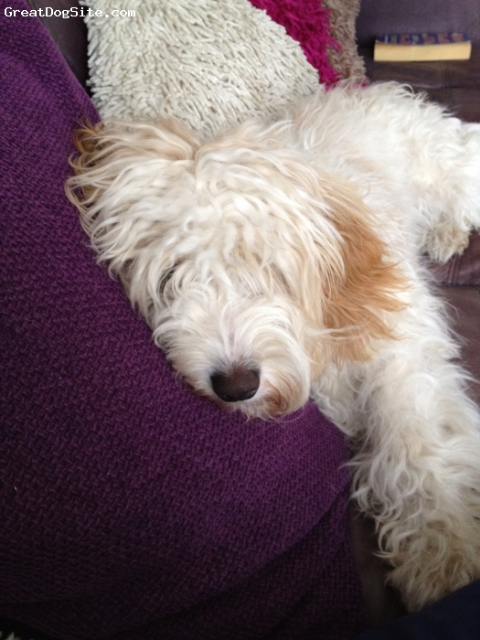 Cavapoo, 12 months, Beige and white, Bella is a sweet, mild mannered but very boisterous young dog who loves her daily walks. She also lives with a Springer spaniel and a cat, all three are great pals. She is also wonderful with our grandchildren, being very tolerant with the baby.