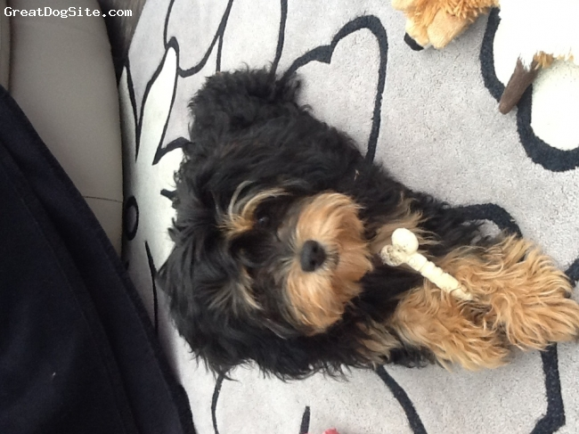 Cavapoo, 5month, Black&tan, Lovely breed very happy dog all the time and easy to train gets on with kids and other dogs.