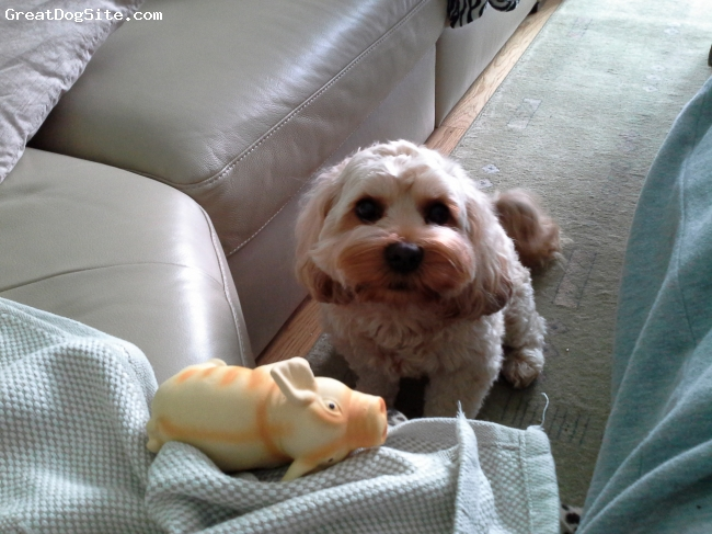Cavapoo, 2, golden, 2 year old cavapoo.lovely natured dog.