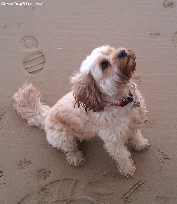Cavapoo, 2, golden, On the beach at grannies heilan hame, embo, scotland.
