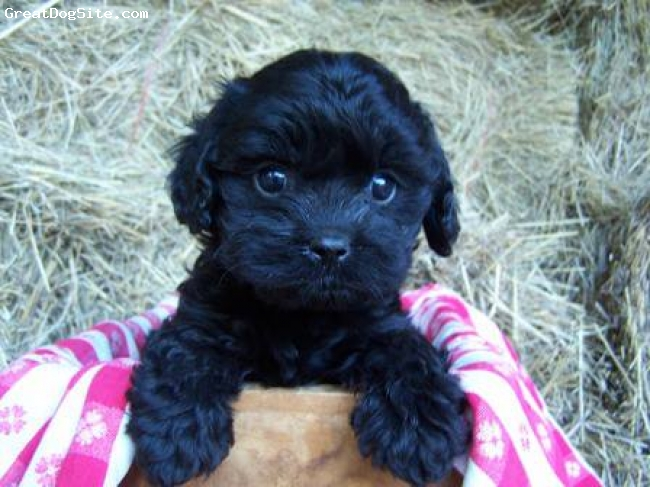 Cavapoo, 3 months, Black, Curly gives lots of kisses and lifts your spirit with his eyes