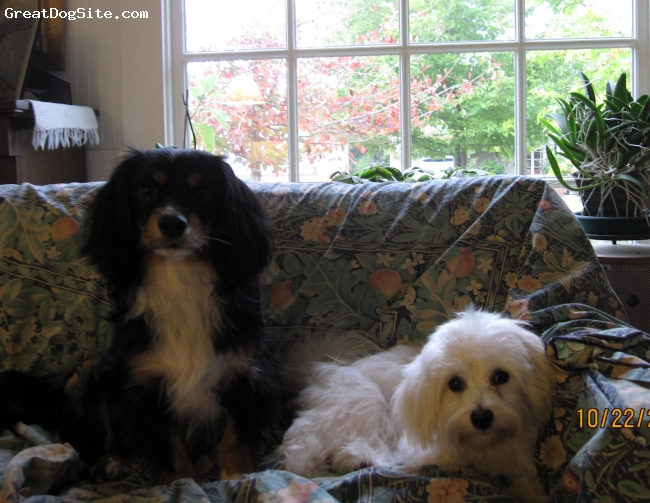 Cavaton, 18 months, black and tan, Zephyr's sire is a black and tan Cavalier and his dam is a white and black Coton de Tulear. He weighs in at about 18 pounds now. He has the sweetest disposition in the world and likes nothing more than to sit in your lap and be stroked for hours on end. When he's not doing that he is very playful, loves his toys to death, literally, and rough houses with his playmate, Tule Belle, a little Havanese girl. 