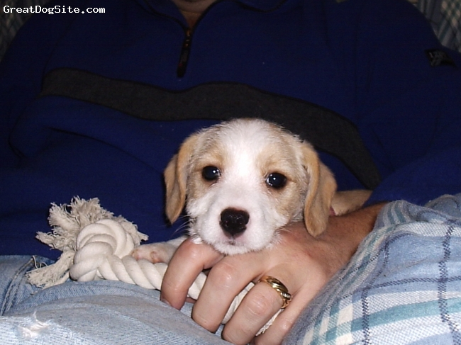 Cavestie, 2 months old, tan and white, Hazel as a puppy.