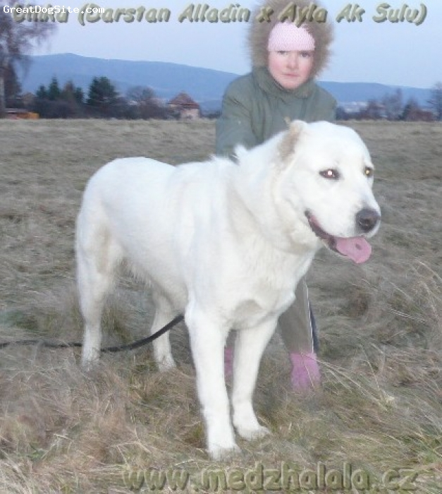 Central Asian Ovtcharka, 16months old on the photo, white,