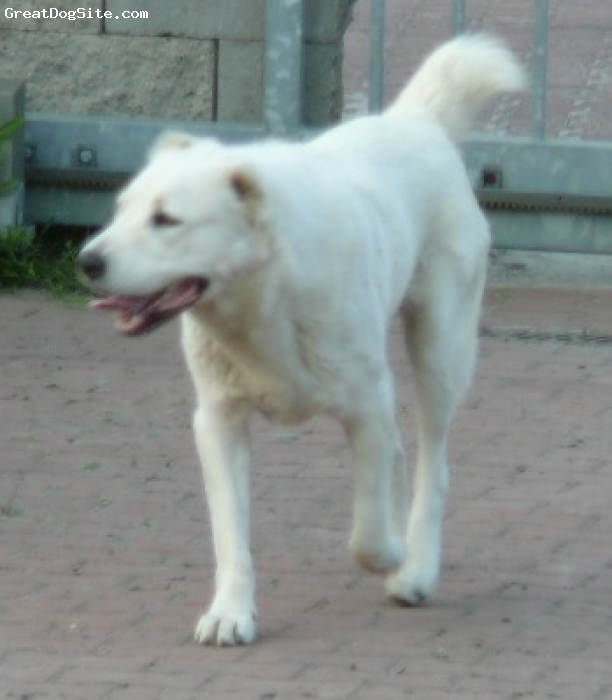 Central Asian Ovtcharka, 18months old on the photo, white,