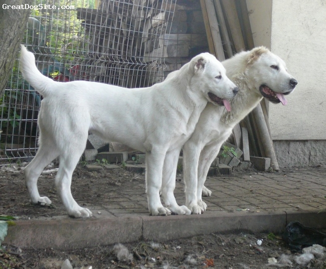 Central Asian Ovtcharka, 3,5y. and 6months, white,