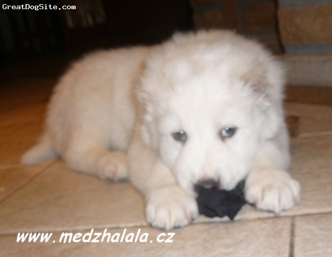 Central Asian Ovtcharka, 6weeks old, white,