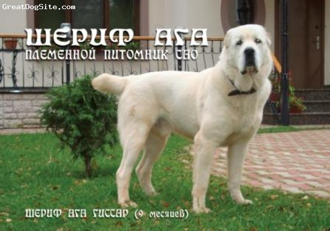 Central Asian Ovtcharka, 1 year, white,