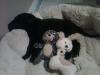 Chesador, 13 months, black